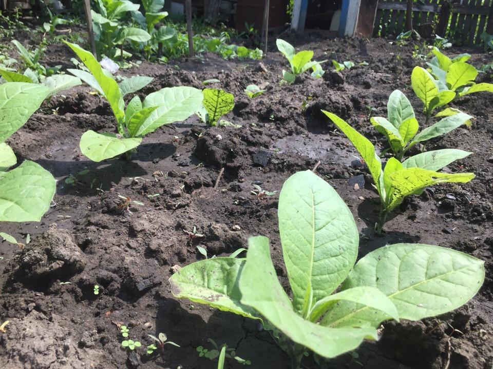 Когда высаживать табак и махорку в открытый грунт