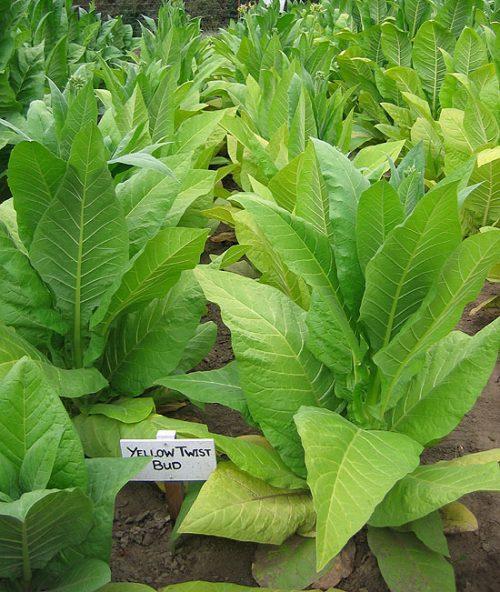 Табак сорта Yellow Twist Bud (Берли)