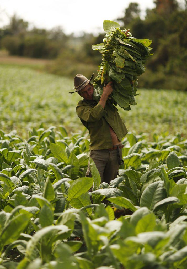 Сбор листьев табака на Кубе