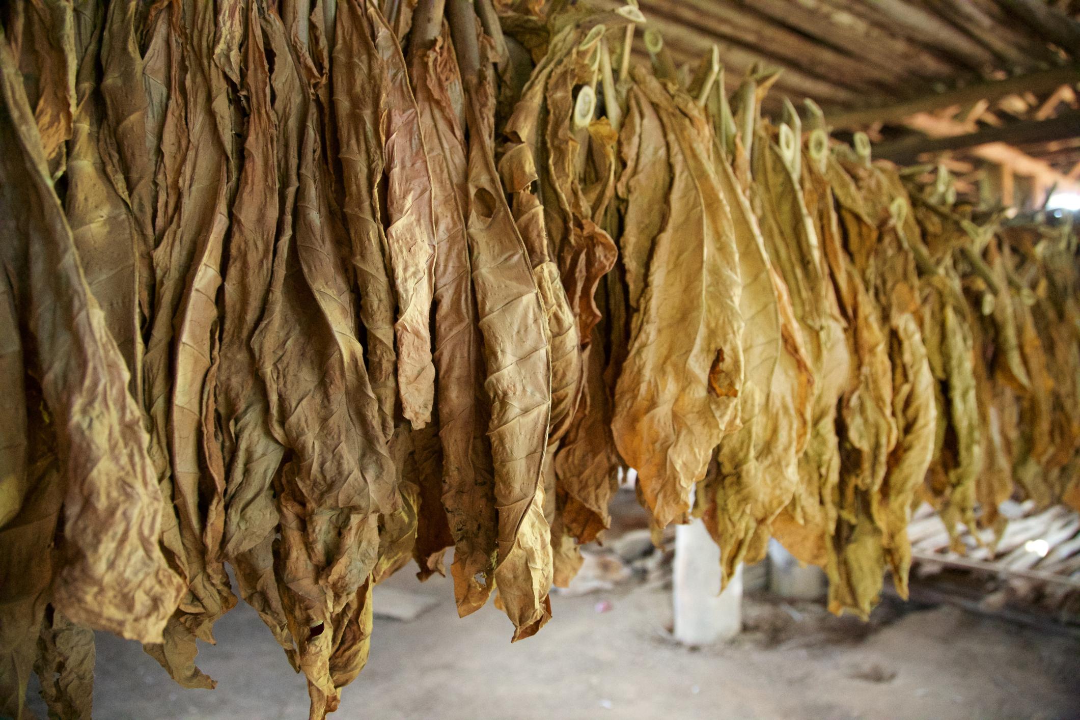 Как правильно сушить табак в домашних условиях