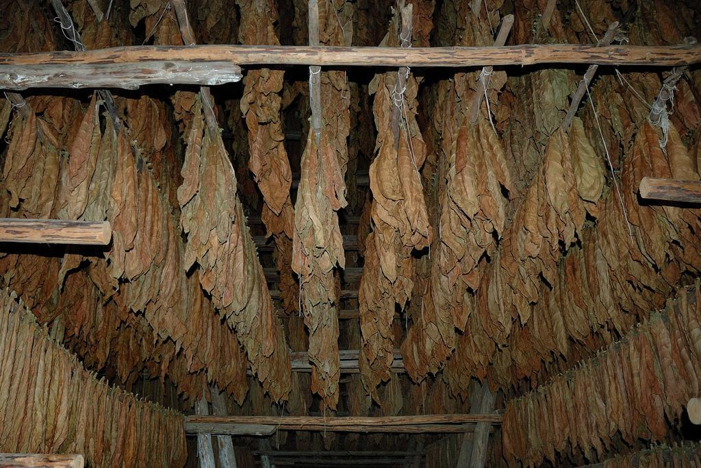 Теневая сушка табака