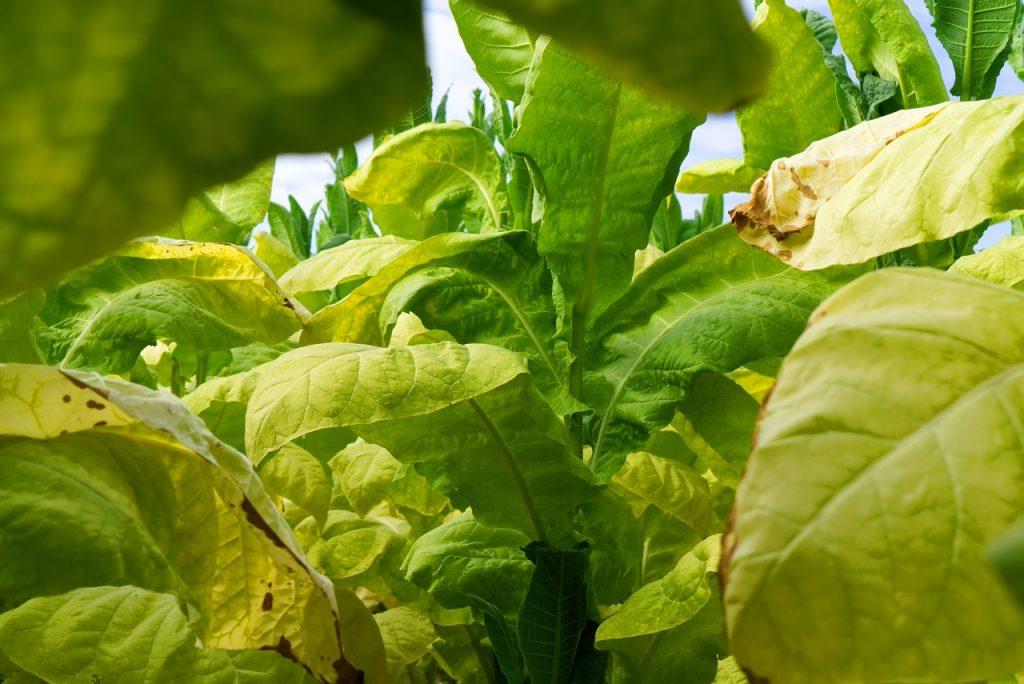 Подгар листьев табака