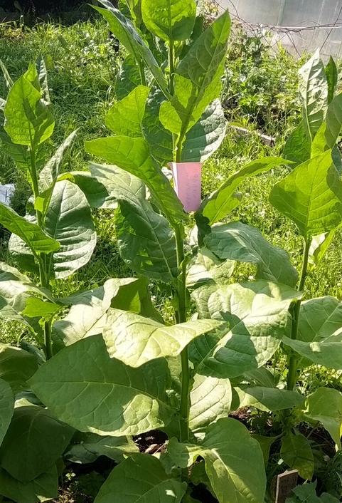 Табак сорта Habano Honduras