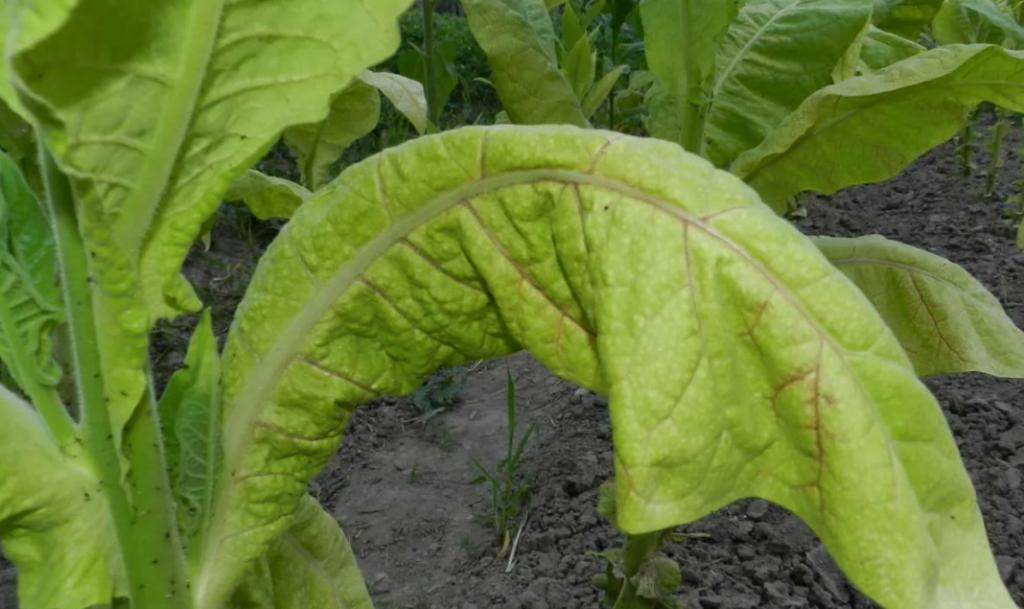 Вирус бронзовости томатов (Хлороз)