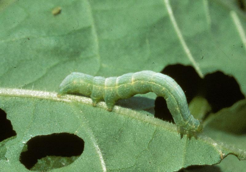Капустная гусеница на табаке