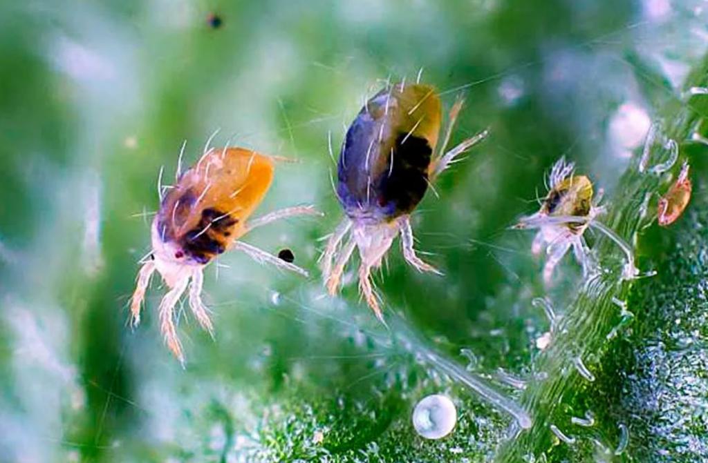 Табачная пыль против паутинного клеща