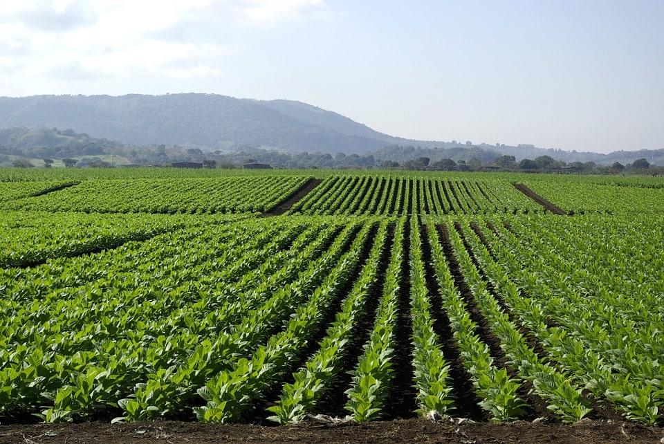 Выращивание курительного табака как бизнес