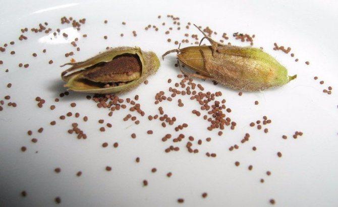 Семена душистого табака